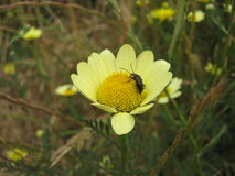 Insect on Yellow daisy flower Royalty Free Stock Images