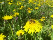 Insect on the yellow dandelion Stock Images