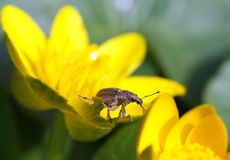 Insect on yellow flower Royalty Free Stock Photos