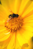 Insect on Yellow Flower. Flying insect on a Yellow Flower Royalty Free Stock Photography