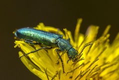 Insect on yellow flower. Macro view of turquoise insect on a yellow flower Stock Image