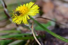 Insect Yellow Flower Bloom Tussilago farfara. Insect on the yellow flower,  Tussilago farfara, commonly known as coltsfoot Stock Image