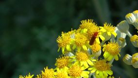 Insect on the yellow flowers. Video stock video footage