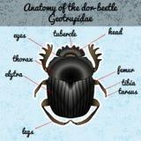 Insectanatomie De dor-kever van stickergeotrupidae Schets van dor-kever Dor-kever het Ontwerp van de dor-kevermestkever voor het  stock illustratie