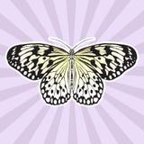 Insectanatomie Het Idee Leuconoe van de stickervlinder Rijstpapiervlieger Schets van Vlinder Vlinderontwerp voor het kleuren Stock Foto