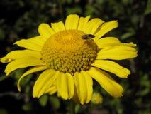 Insecte été perché sur une marguerite jaune Photographie stock libre de droits