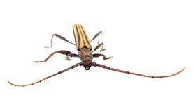 Insecte asiatique photographie stock libre de droits
