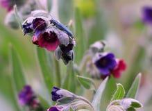 Insecte bleu Photographie stock libre de droits
