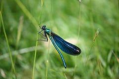 Insecte bleu de libellule de belle essence Image libre de droits