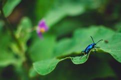 Insecte bleu sur la feuille Image stock