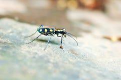 Insecte coloré de bouclier sur la pierre images libres de droits
