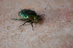 Insecte coloré sur un plancher en Croatie Photos libres de droits