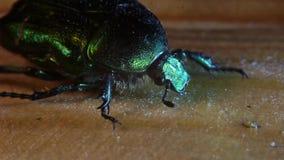 Insecte courant de Maybug d'enregistrement vidéo banque de vidéos