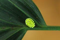 Insecte d'échelle image libre de droits