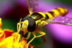 Insecte d'abeille images stock
