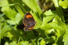 Insecte d'animal de nature de papillon Photos stock