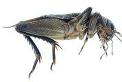 Insecte d'anomalie de cricket images stock