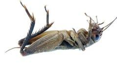 Insecte d'anomalie de cricket photo libre de droits