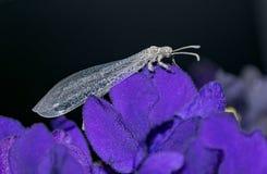Insecte d'Antlion se reposant sur une violette africaine photographie stock
