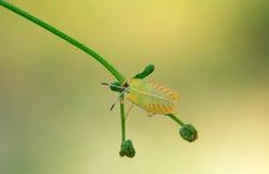 Insecte d'assassin coloré dans la lumière naturelle Photo libre de droits