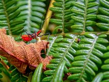 Insecte d'assassin de Milkweed marchant sur une feuille sèche photographie stock libre de droits