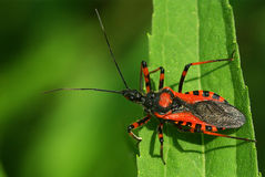 Insecte d'assassin de Rhinocoris image stock