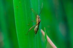 Insecte d'assassin rayé vert, brun et jaune Image libre de droits