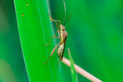 Insecte d'assassin rayé vert, brun et jaune Photos libres de droits