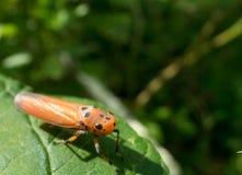 Insecte dans la feuille Photos libres de droits
