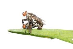 Insecte de accouplement de mouche d'isolement Photographie stock