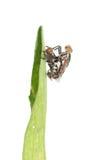 Insecte de accouplement de mouche d'isolement Photographie stock libre de droits