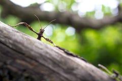 Insecte de bâton épineux géant sur un arbre image libre de droits
