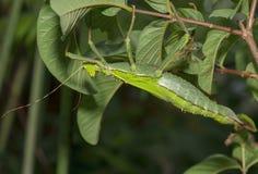 Insecte de bâton photographie stock