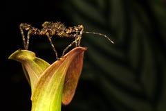 Insecte de bâton Images stock
