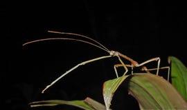 Insecte de bâton Image stock