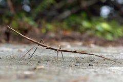 Insecte de bâton images libres de droits