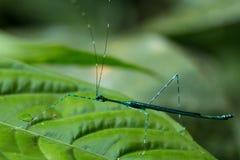 Insecte de bâton bleu, parc national de Gunung Gading, Sarawak, Bornéo photographie stock