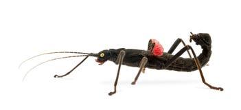 insecte de bâton D'or-observé, schultei de Peruphasma images libres de droits