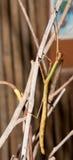Insecte de bâton de marche photos libres de droits