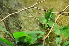 Insecte de bâton géant image stock