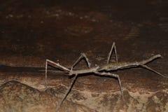 Insecte de bâton géant Photo libre de droits
