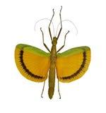 Insecte de bâton jaune volant d'isolement sur le blanc photographie stock