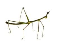 Insecte de bâton, Phasmatodea - peruana d'Oreophoetes Photos libres de droits
