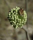 Insecte de bouclier Images libres de droits