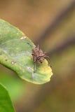 Insecte de bouclier Photographie stock libre de droits