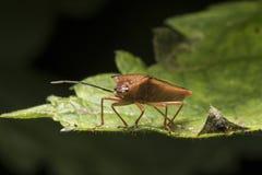 Insecte de bouclier d'aubépine dans des couleurs d'automne Photo libre de droits