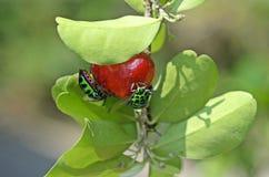 Insecte de bouclier de litchi Photos libres de droits