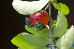 Insecte de bouclier de litchi Image libre de droits