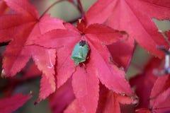 Insecte de bouclier sur la feuille d'érable photos stock