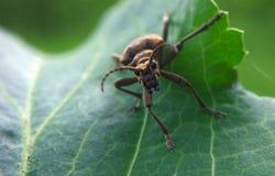 Insecte de Brown à la feuille verte photos stock